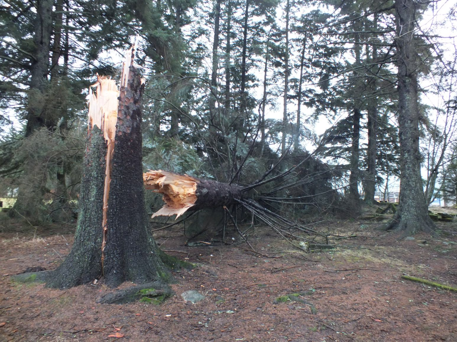 A large Sitka spruce fell in Juneau's Evergreen Cemetery during a storm that blew through Southeast Alaska Tuesday. Photo by Casey Kelly/KTOO.