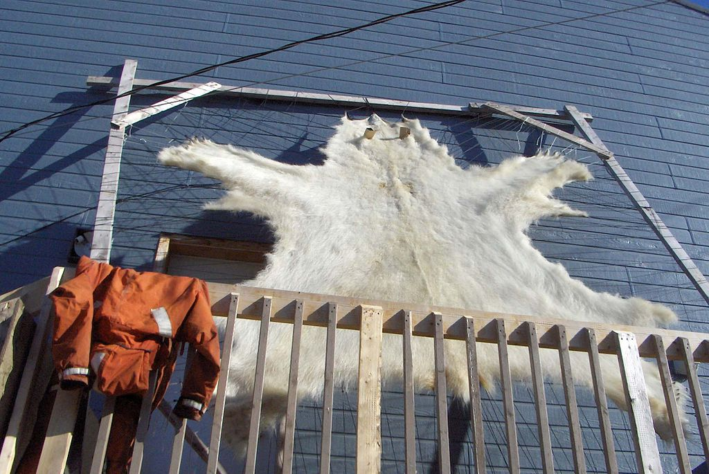 A polar bearskin drying on a frame on a porch in Pangnirtung, Nunavut, Canada. (Photo by Mike Beauregard/Flickr Creative Commons)