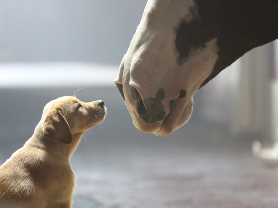Puppy + Clydesdale = awww. Anheuser-Busch.com