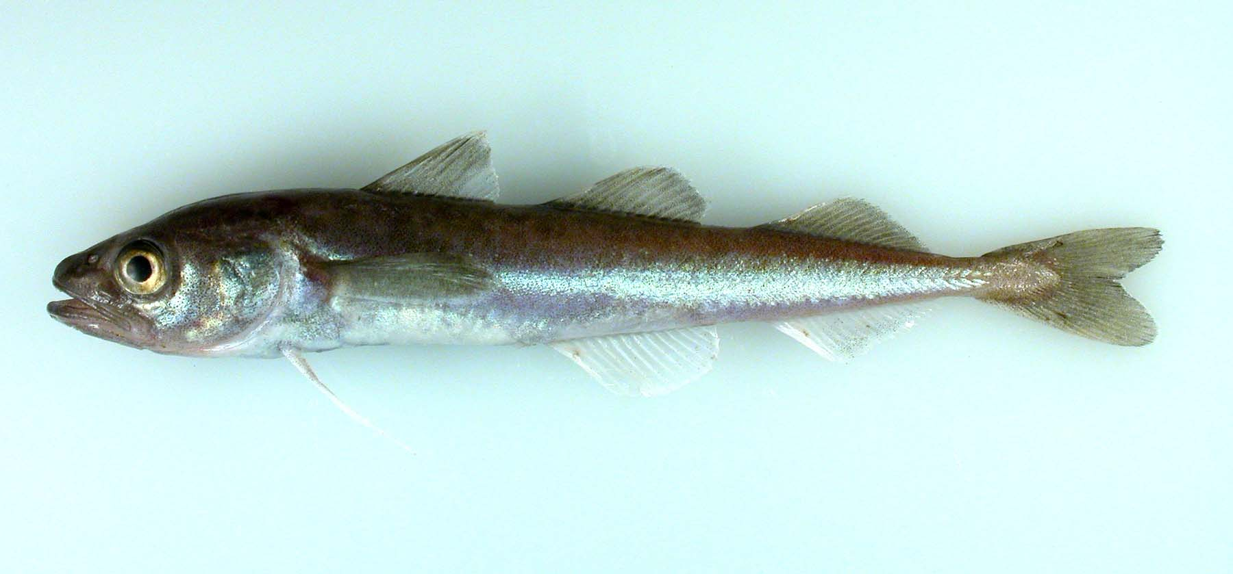 Arctic cod. (Photo courtesy of NOAA)
