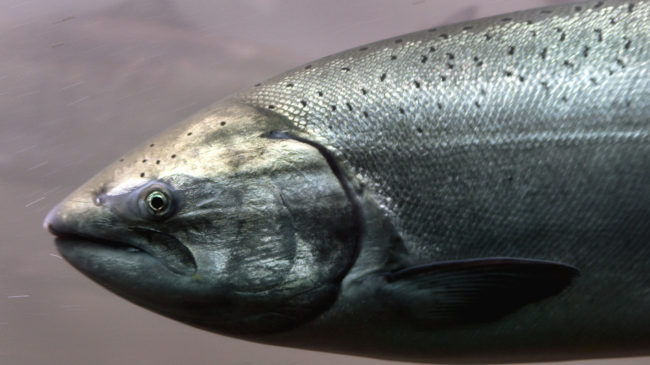 A fish that knows the way to go: the Chinook salmon, which appears to use the Earth's magnetic field to navigate ocean waters and rivers. Jeff T. Green/Getty Images