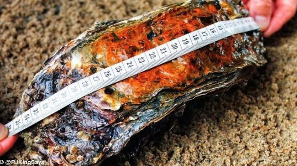 Even if you ignore the giant oyster's size, its rich patina and rippling layers hint at its age, estimated at 15-20 years old. @RJKingSays