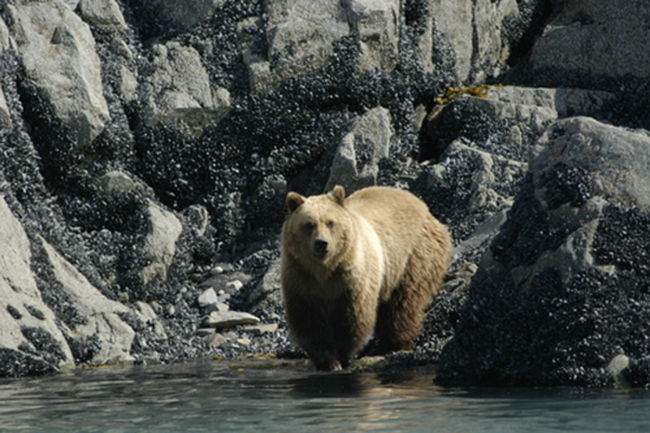 Where glacial ice has most recently retreated, Glacier Bay's bears rely on the intertidal area for food. (Photo by Tania Lewis)