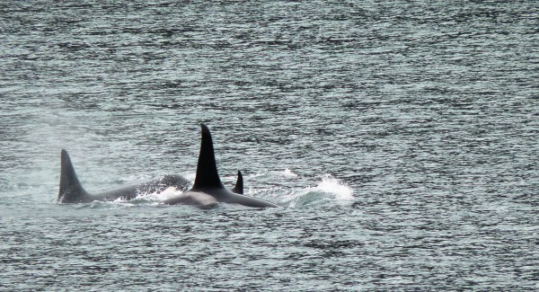An orca pod surfaces in Gastineau Channel Thursday afternoon. (Ed Schoenfeld/CoastAlaska News)