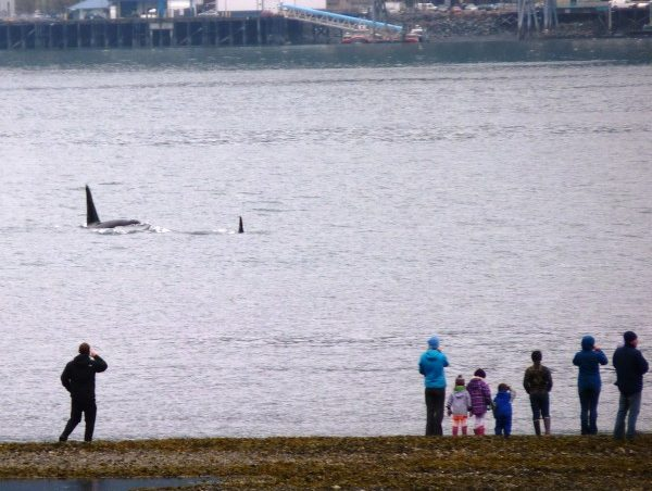 Families watch an orca pod from the tidal flats below First Street in Douglas Thursday afternoon. (Ed Schoenfeld/CoastAlaska News)