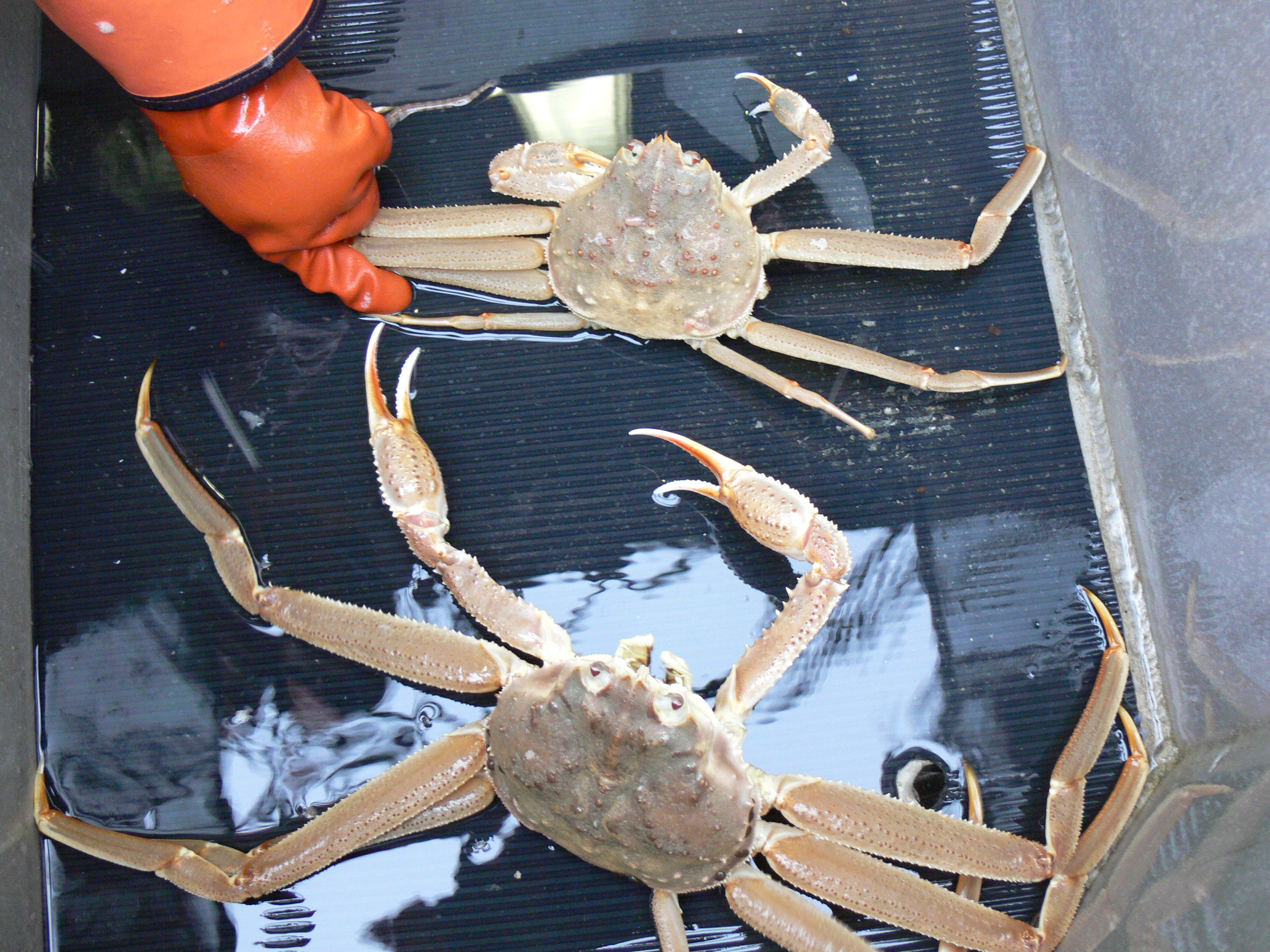 Tanner Crab. (Photo courtesy ADF&G)