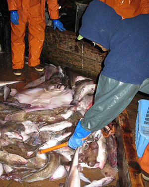 Observer sampling fish. (Photo by NOAA Fisheries)