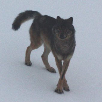 Southeast wolf (Photo courtesy of ADF&G)