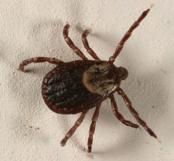 Common dog tick. (Photo by Gary Alpert)