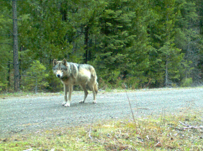 OR-7 traveled years to find a new home and a mate. U.S. Fish and Wildlife Service