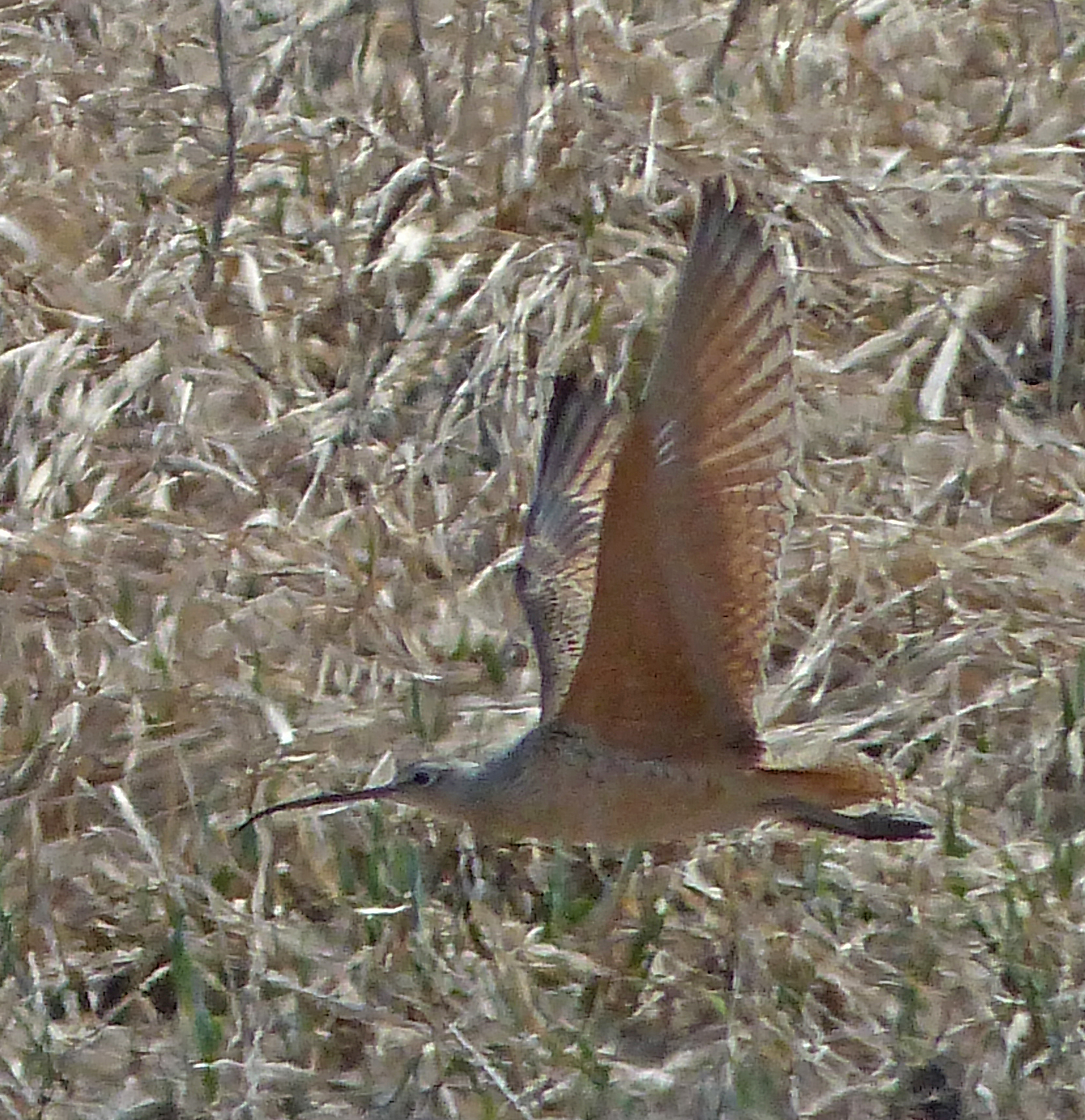 Bob Armstrong captured the Long-bill Curlew in flight. Steve Heinl says the bird is most distinctive this way because its underwings are cinnamon colored. (Photo by Bob Armstrong)