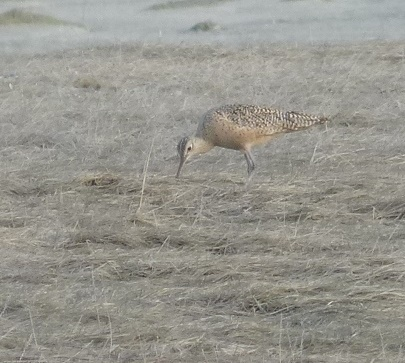 Gwen Bayluss went to Boy Scout Camp after the initial sighting and also so the Long-billed Curlew. (Photo by Gwen Bayluss)