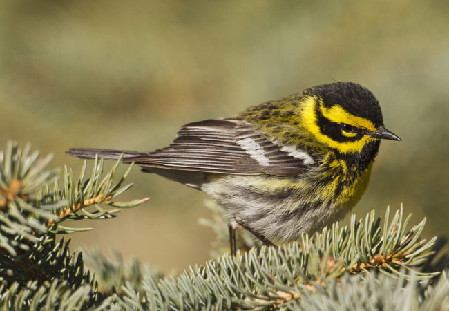 A Townsend's warbler in Fairbanks. (Photo by Ted Swem)