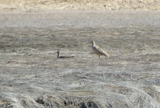 Doug Sanvik took this photo of a Long-billed Curlew on May 3. To the left of it is a Whimbrel. (Photo by Doug Sanvik)