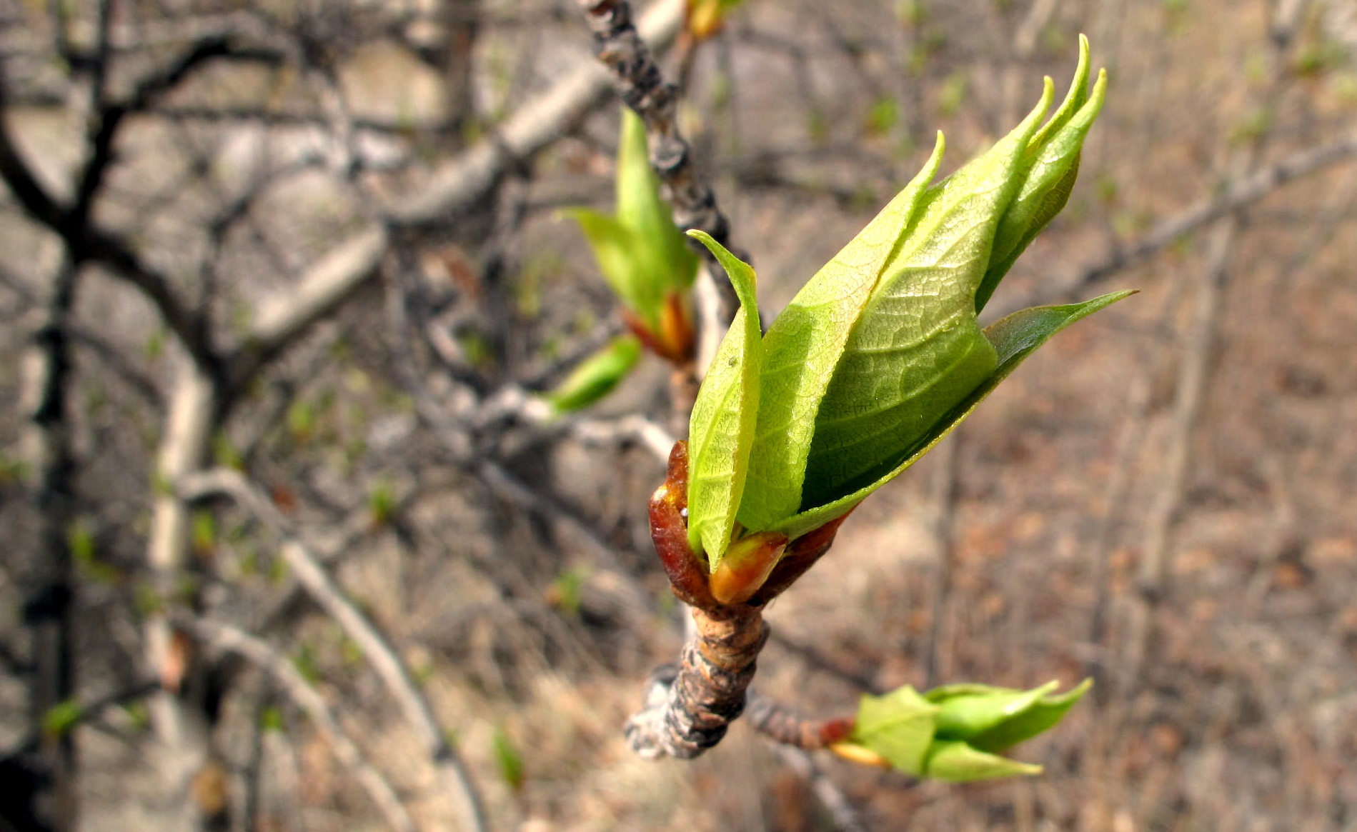 Leaves twist out of buds oat the end of a balsam poplar twig. (Photo by Ned Rozell)