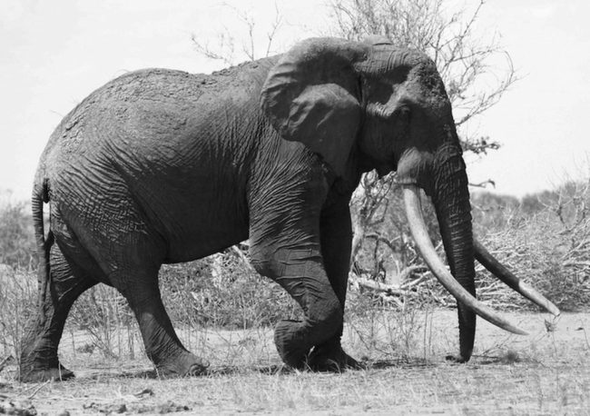 Satao was a rare elephant with tusks so big they almost touched the ground. Tsavo Trust