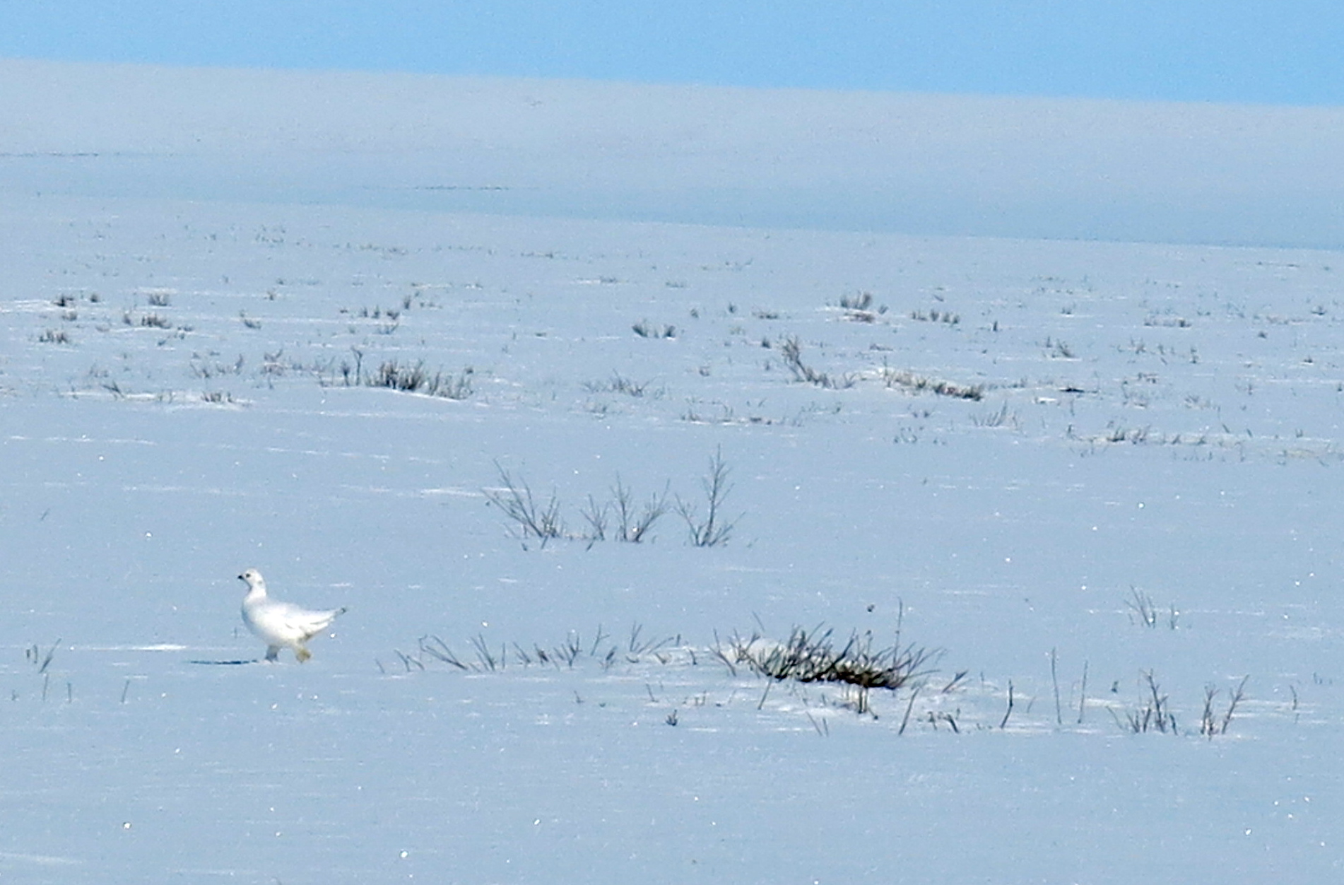 A ptarmigan near the Itkillik River on Alaska's North Slope. (Photo by Ned Rozell)