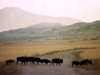 Adult bison and calves cross a dirt road on Antelope Island, northwest of Salt Lake City. A team of scientists from Utah State University have developed a smartphone app to track animal-vehicle collisions. Douglas C. Pizac/AP