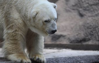 "Arturo, the only polar bear in Argentina, lives in captivity at a zoo in Mendoza. The plight of the ""sad bear"" has spawned more than 400,000 signatures on a petition to get him moved to a ""better life"" in Canada. AFP/Getty Images"