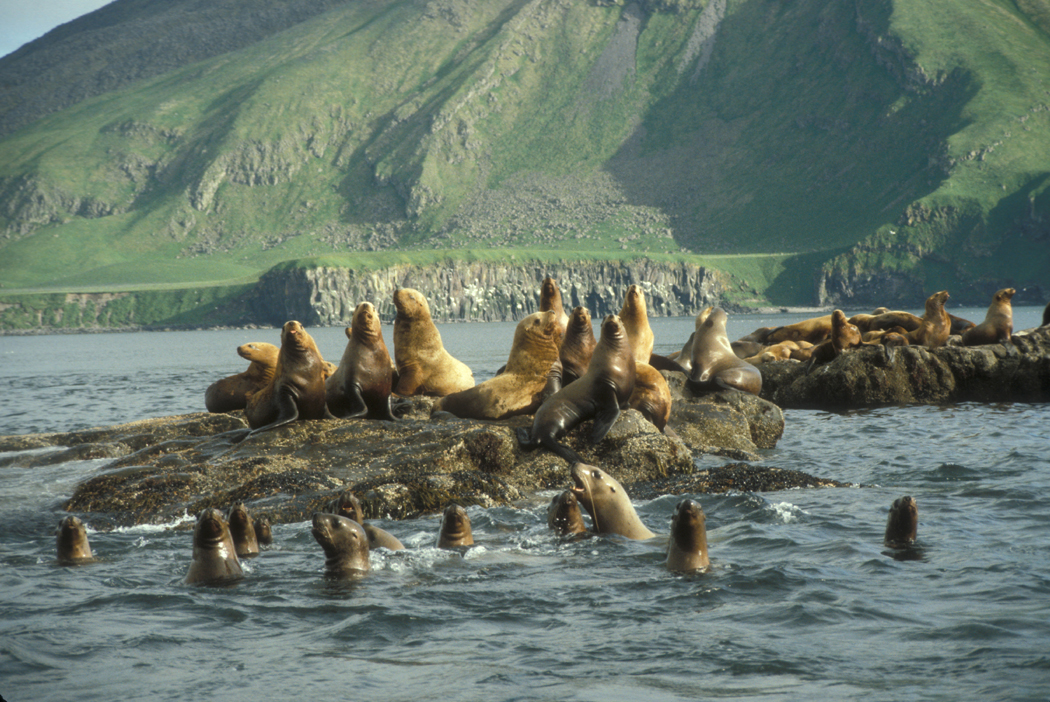 Stellar sea lions hauled out on Amak Island. (Photo by Kevin Bell/ U.S. Fish and Wildlife Service)