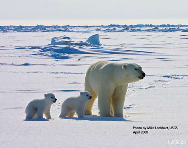 An adult female polar bear and her two cubs travel across the sea ice of the Arctic Ocean north of the Alaska coast. (Photo courtesy of US Geological Survey)