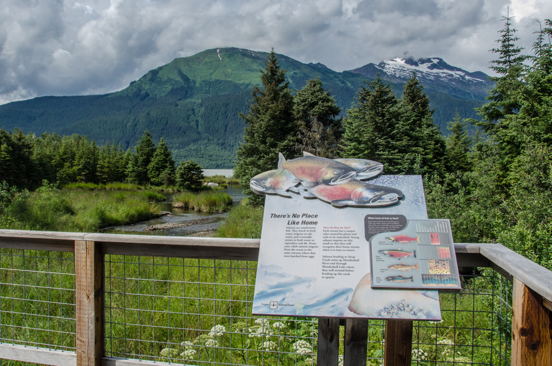 Visitors at the Mendenhall Glacier can watch sockeye salmon make their way upstream at the viewing platforms along Steep Creek. (Photo by Heather Bryant/KTOO)