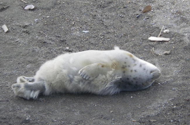 Spotted seal pup sunbathes to grow its adult fur coat. (Photo by Gay Sheffield)