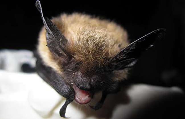 A Keen's myotis bat. (Photo courtesy Alaska Department of Fish and Game)