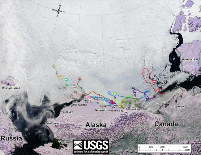 Movements of 14 satellite-tagged polar bears for the month of June, 2014. (Image courtesy USGS)