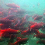 Sockeye salmon. (Photo courtesy USFWS/Katrina Mueller)