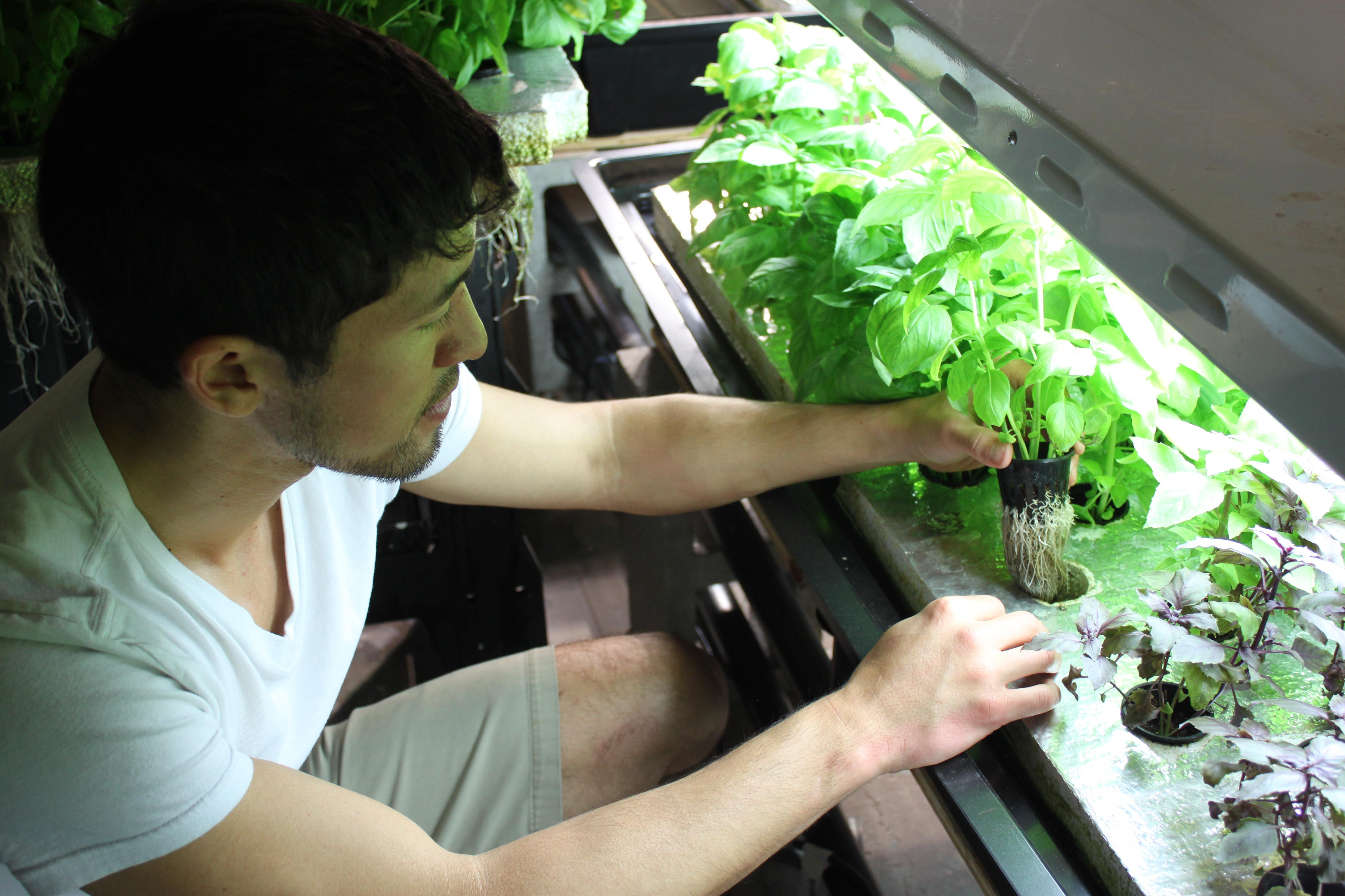 3 Ways to Grow Basil 3 Ways to Grow Basil new foto