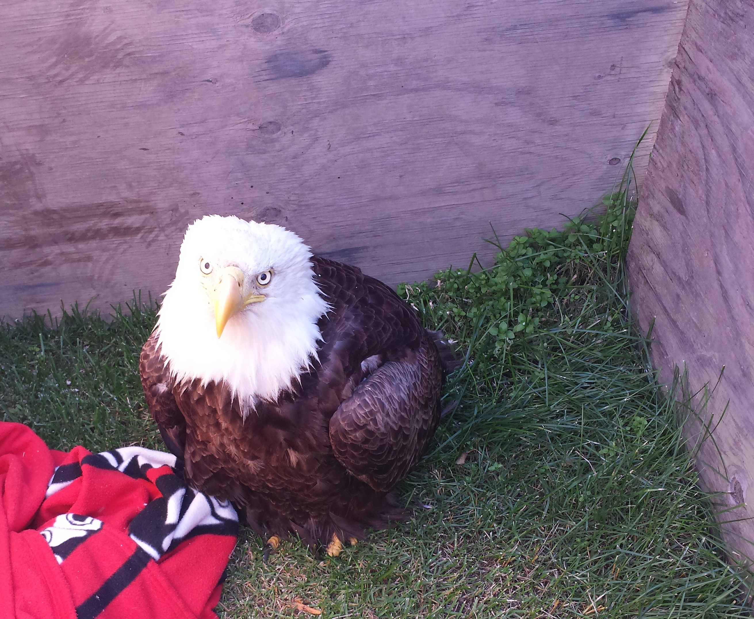 An eagle rescued near Aniak Tuesday and sent to Anchorage. (Photo by Jared Thorson)