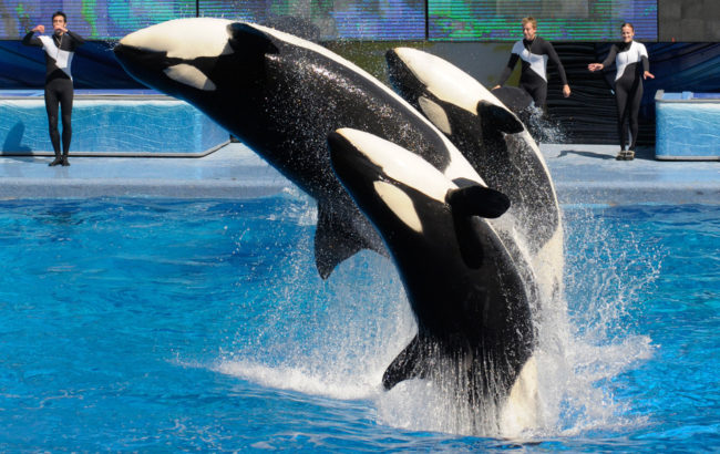 Killer whales perform in Shamu Stadium at the SeaWorld Orlando theme park in Florida. SeaWorld says it will not appeal a citation that prohibits trainers from performing with the whales. Phelan M. Ebenhack/AP