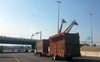 A pair of giraffes being transported in a crate approach a low bridge on a freeway in Centurion, South Africa on Thursday. Thinus Botha /Barcroft Media /Landov