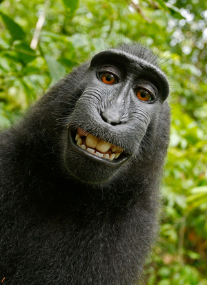 This 2011 image captured by a cheeky black macaque after turning the tables on a photographer who left his camera unmanned has ignited a debate over who owns the photo. David J Slater/Caters News Agency/Wikimedia Commons