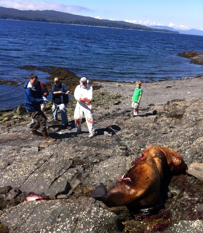 Gary Freitag and volunteers haul a dead sea lion off the rocks and closer to the incoming tide following a necropsy at Refuge Cove on Thursday. (Photo by Leila Kheiry/KRBD)