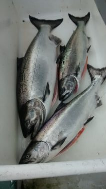 Commercial troll caught king salmon. (Photo courtesy of Matt Lichtenstein)