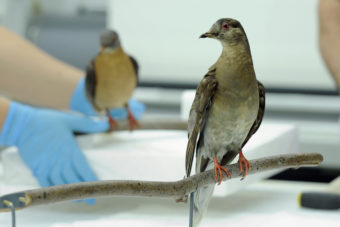 Martha (right), an extinct passenger pigeon, at the Smithsonian's Natural history Museum in Washington. The passenger pigeon was once the world's most plentiful bird. Sept. 1 is the centenary of the bird's extinction. Susan Walsh/AP