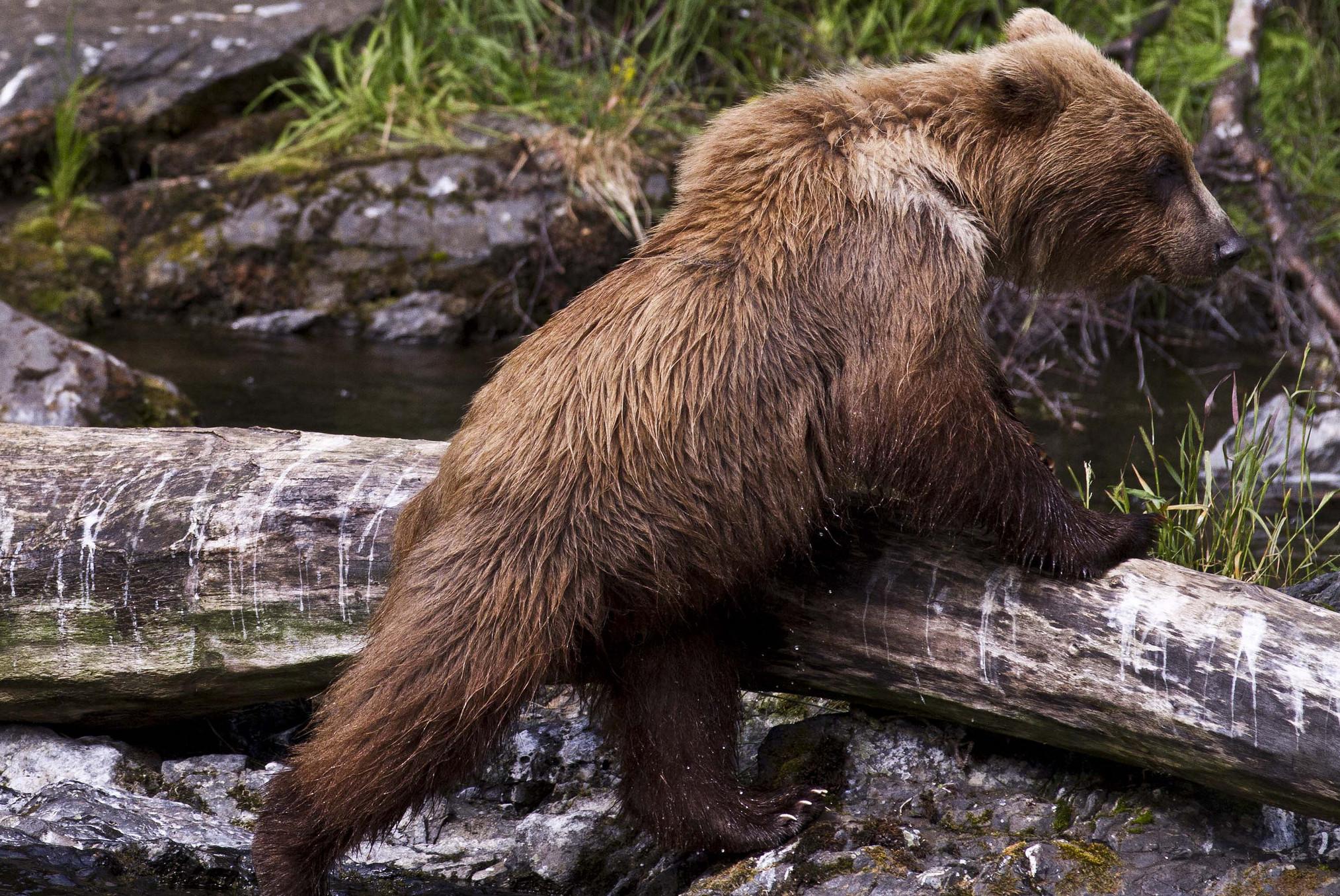 Kenai National Wildlife Refuge brown bear. (Photo courtesy Kenai National Wildlife Refuge)