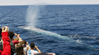 Off the coast of Southern California, a crowd watches a blue whale rise to the surface earlier this summer. A new study says the population of blue whales off the West Coast is close to historic levels. Nick Ut/AP