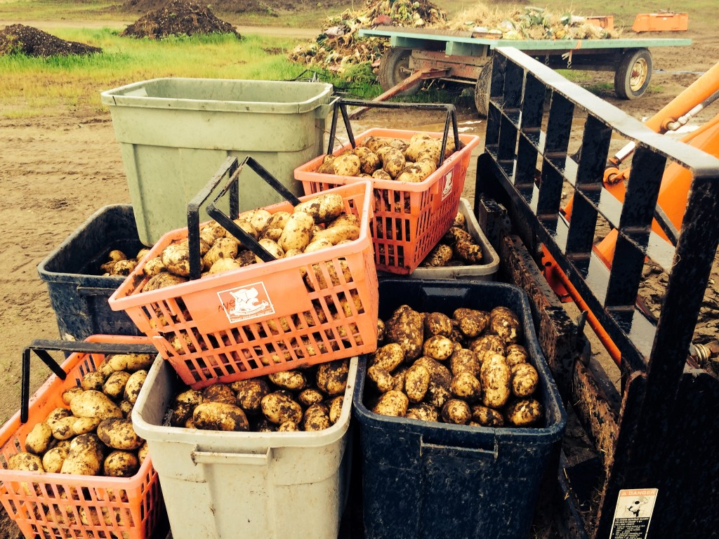 Freshly harvested Potatoes at Meyers Farm in Bethel. (Photo by Daysha Eaton/KYUK.)