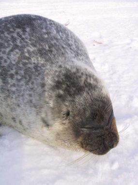 A ringed seal. (Photo courtesy Wikimedia Commons)