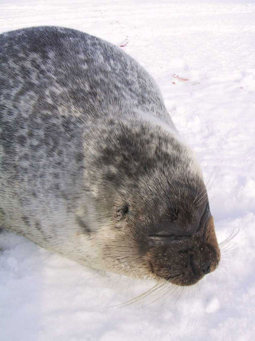A ringed seal. (Photo courtesy Wikimedia Commons)