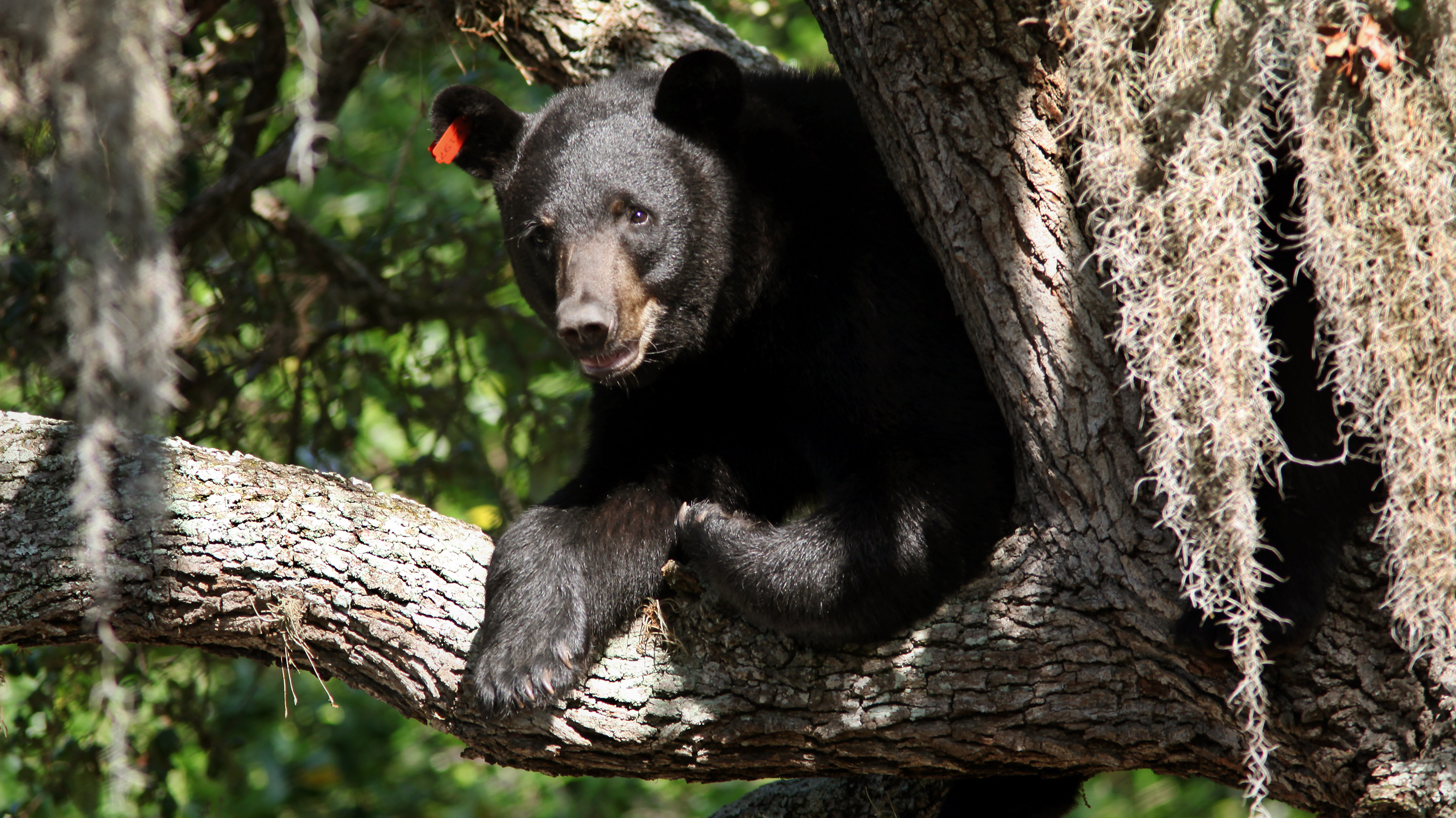 This black bear was spotted atop a tree in Tampa, Fla., on May 17, 2013. The bear population has been on the rise, so state wildlife officials are calling for a bear hunting season. Skip O'Rourke /MCT /Landov