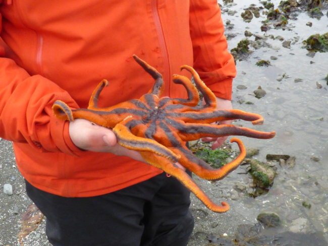 Josh Good holds a healthy solaster, or sun star, on an Unalaska beach. (Photo by Annie Ropeik/KUCB)