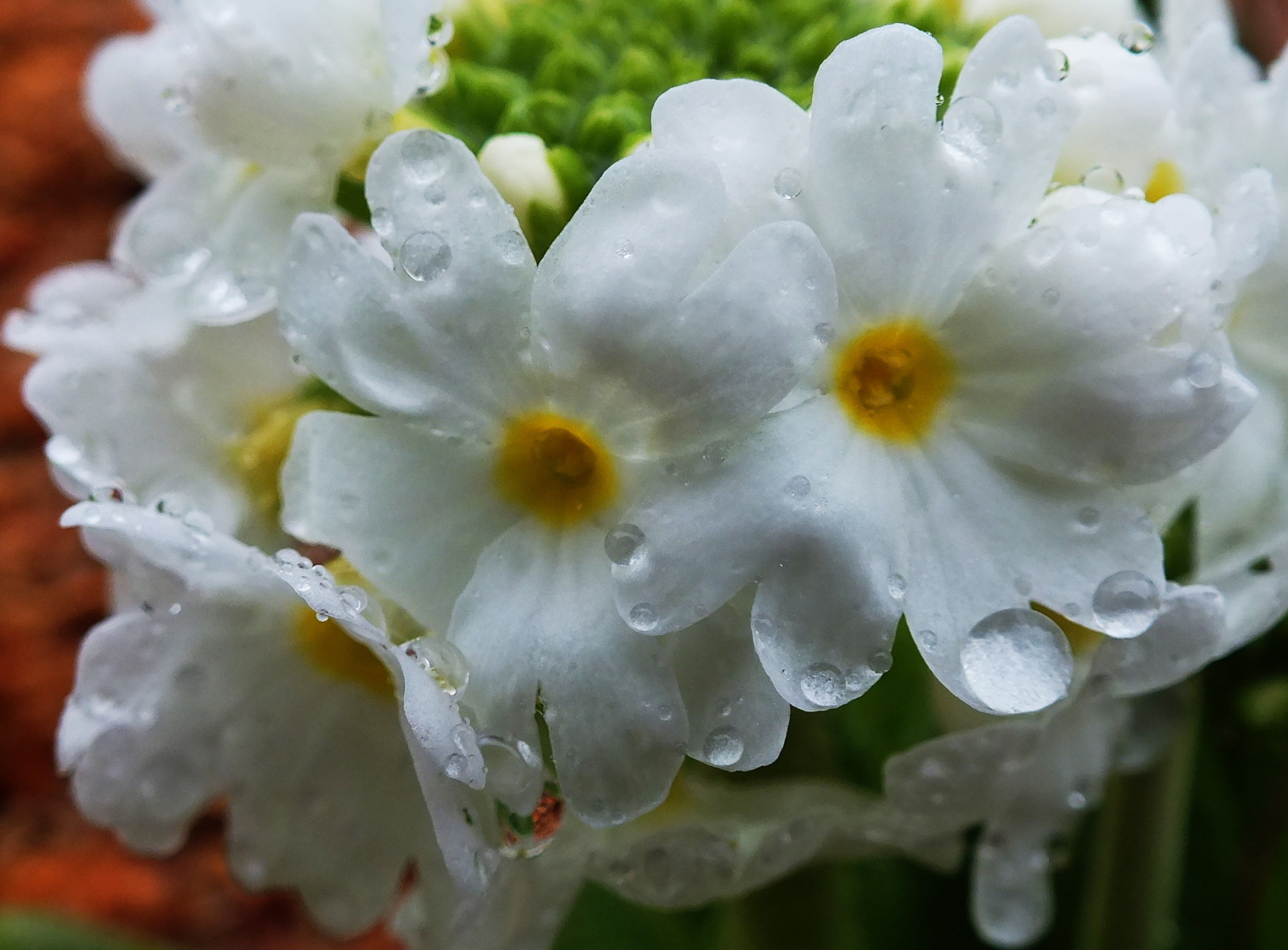 Close-up of tiny Primrose flowers as they  bloom in a North Douglas garden. (Photo by Matt Miller/KTOO)