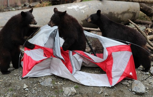 Black bear cubs Smokey, Bandit, and Tuliaan were orphaned in Juneau and Seward in 2013. They make short work of a tent baited with grapes and graham crackers. (Photo by Robert Woolsey/KCAW)