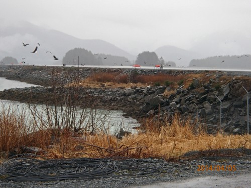 "If fish debris gathers near the runway, the feeding eagles pose a safety hazard. ""A bird that size, especially an ingestion into an engine, could be catastrophic for human lives,"" said Tresham. (Photo courtesy of Dave Tresham)"