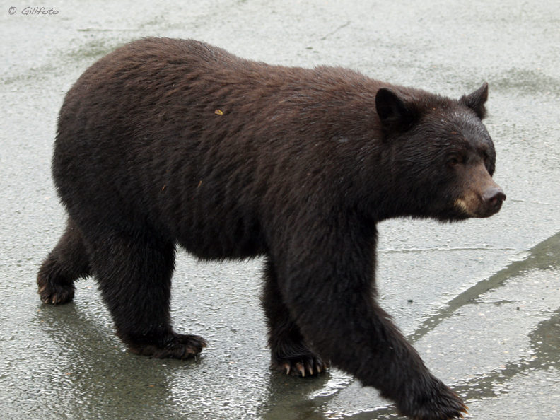 Motorists should slow down or stop when they see a bear on or near a road. This photo was taken in September 2008. (Creative Commons photo by Gillfoto)