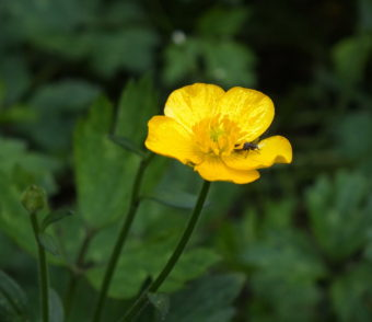 Arrgh! European buttercups are back!